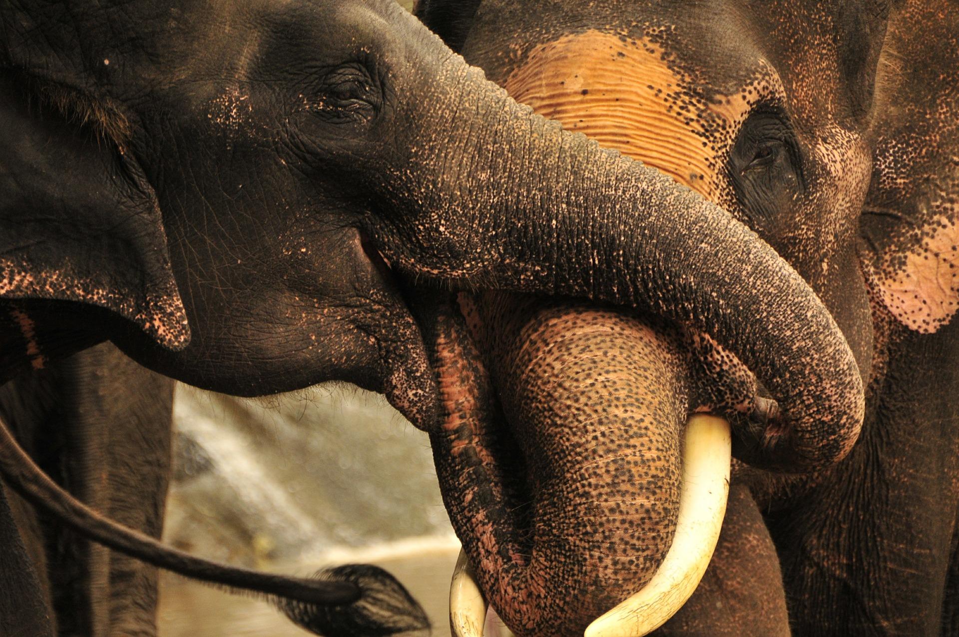 elephant-385268_1920